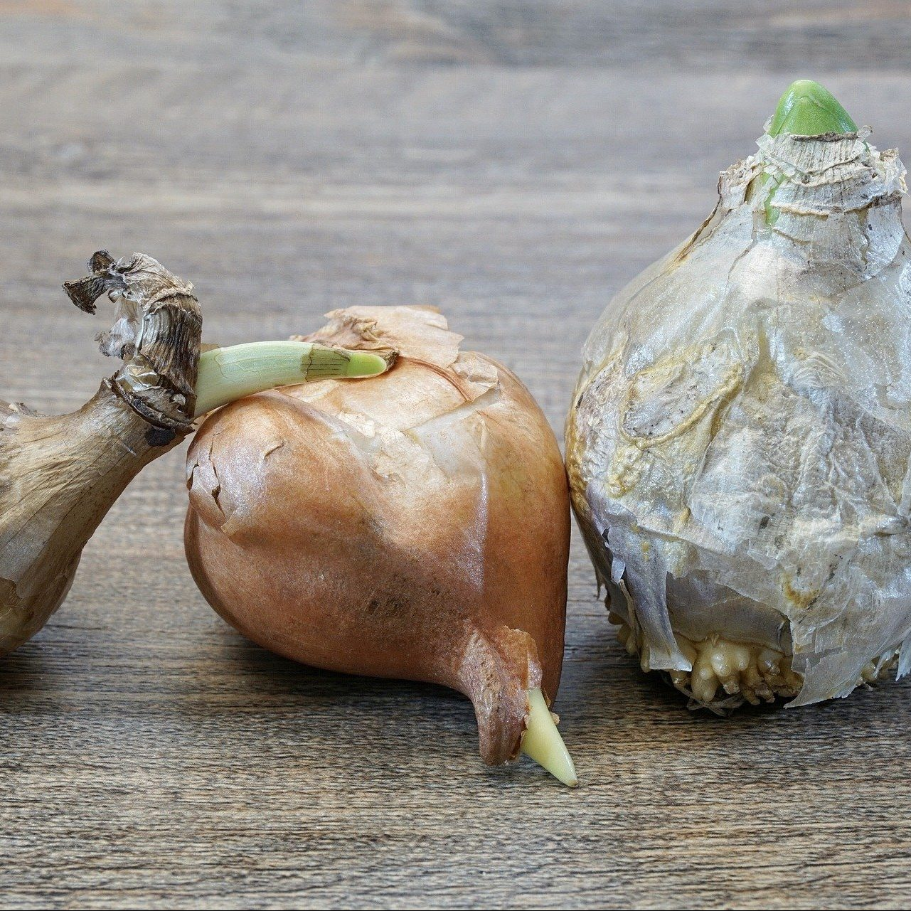 Zwiebelpflanze - Angebot -2