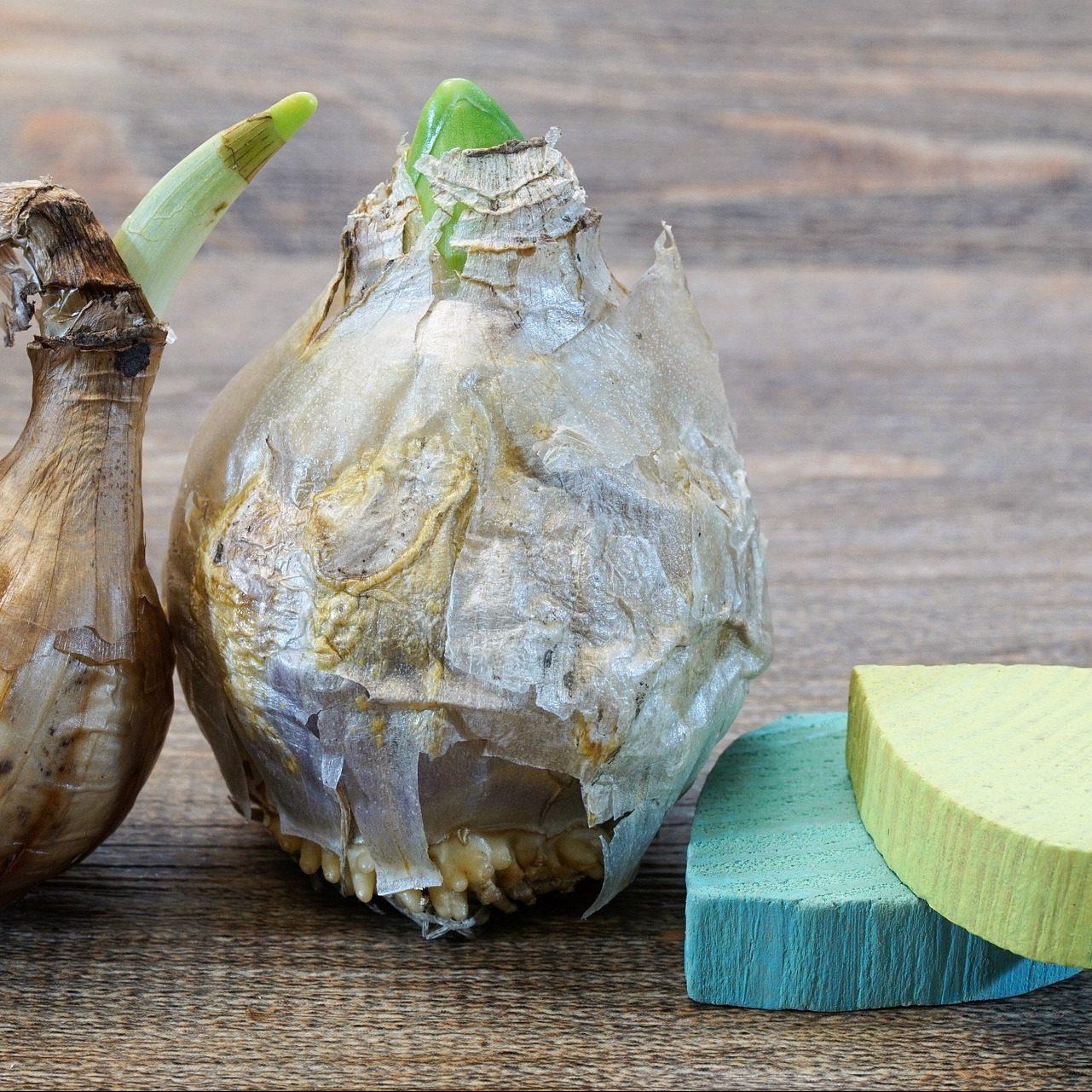 Zwiebelpflanze-Angebot-3